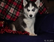 Adorable Siberian Huskey Puppies